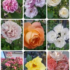 庭のバラ 母が育ててる庭のバラ🌹が沢山咲いてます✿…(1枚目)