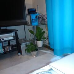 グリーンインテリア投稿コンテスト 風水では、入口から対角線上に観葉植物を置…