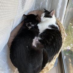 猫ちぐら/ねこ多頭飼い/ねこ/猫屋敷 仲良くないけど、なんか同じベッドに寝てし…