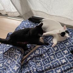 完全室内飼育/保護ネコ/猫屋敷 仲良くお昼寝 からの 小競り合い😅 (2枚目)