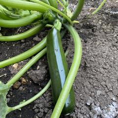 ズッキーニ/家庭菜園 庭のズッキーニ。 ペチュニアの隙間に植え…