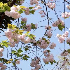 八重桜/桜/春爛漫 さくら情報も飽きて来たけど(笑) 駅まで…(1枚目)