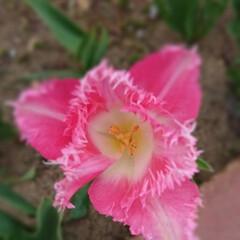 チューリップ/わが家の庭の花/フォロー大歓迎/暮らし ピンクのフリフリが、かわいいチューリップ…
