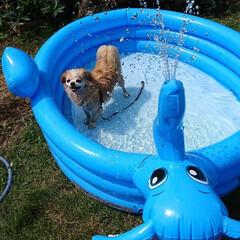 犬の水遊び/チビッ子プール/フォロー大歓迎/夏対策/犬 暑い毎日が、続いていますね💦  我が家の…