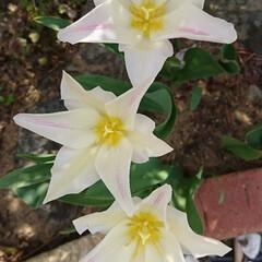 わが家の庭の花/チューリップ/フォロー大歓迎/暮らし 開ききった、今にも散りそうなチューリップ…(2枚目)