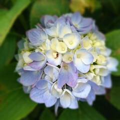 紫陽花/我が家の庭の花/フォロー大歓迎 紫陽花が、満開です♥️  我が家の紫陽花…(1枚目)