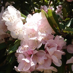ブーケ/わが家の庭の花/フォロー大歓迎/暮らし/シャクナゲ 少し前の写真になりますが…   我が家の…(1枚目)