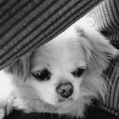 モノクロ写真/甘えん坊の犬/我が家のペット/フォロー大歓迎 パパのお膝から、こんにちは(U´・ェ・)…