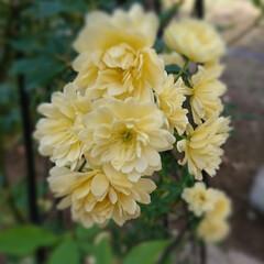 オベリスク/モッコウバラ/フォロー大歓迎/我が家の庭の花/暮らし 昨年、植えたモッコウバラ🌱  オベリスク…(2枚目)