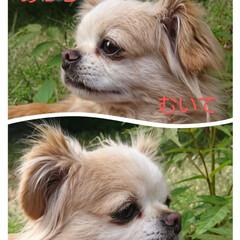 あっちむいてホイ/我が家のアイドル/ペット/フォロー大歓迎/暮らし azukiの写真で、遊んじゃいました(o…