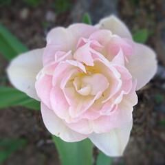 チューリップ/わが家の庭の花/フォロー大歓迎/暮らし GWに入って信州でも急に暑くなり🌞今年の…(1枚目)