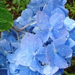 紫陽花/我が家の庭の花/フォロー大歓迎 紫陽花が、満開です♥️  我が家の紫陽花…(2枚目)
