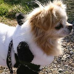 犬の洋服/我が家のペット/フォロー大歓迎 🐼柄のお洋服着たazuki  あまりのか…