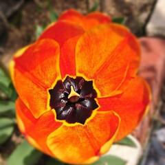 フォロー大歓迎/チューリップ/わが家の庭の花/暮らし 今日も、チューリップを上から激写🌷  チ…(1枚目)