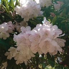 ブーケ/わが家の庭の花/フォロー大歓迎/暮らし/シャクナゲ 少し前の写真になりますが…   我が家の…(2枚目)