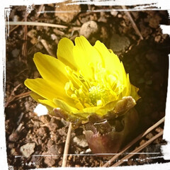 フォロー大歓迎/春よ来い/福寿草/住まい 先日、我が家の福寿草が咲きました✨  春…