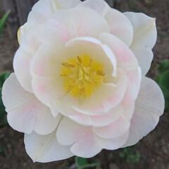 チューリップ/わが家の庭の花/フォロー大歓迎/暮らし GWに入って信州でも急に暑くなり🌞今年の…(2枚目)
