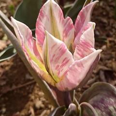 カスリ模様/チューリップ/わが家の庭の花/フォロー大歓迎/暮らし あれれ?  去年までは、我が家にいなかっ…