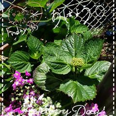 毎年咲く紫陽花/地植え/お花大好き/花のある暮らし/母の日ギフト/ガーデニング/... 今日も素敵な一日になりますように(♥Ü♥…