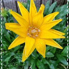 リミアな生活/リミアのある暮らし/リミアの暮らし/お花大好き/ガザニア/元気の源/... 今日も素敵な一日になりますように(♥Ü♥…