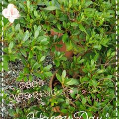 ツツジ/サツキ/鉢植え/元気のもと/リミアのある暮らし/花のある生活/... 今日も素敵な一日になりますように(♥Ü♥…