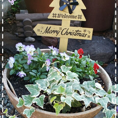 Merry X'mas/百均/100均/玄関先の鉢植え/花のある生活/花のある暮らし/... 今日も素敵な一日になりますように(♥Ü♥…