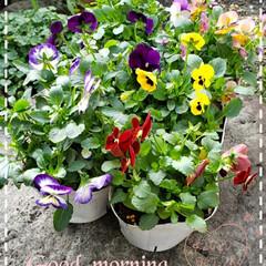 季節の花/ビオラ/花のある生活/花のある暮らし/庭の花/仲間入り/... 今日も素敵な一日になりますように(♥Ü♥…
