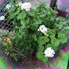 お花大好き/ガーデニング大好き/心の癒し/花のある暮らし/庭の花/我が家の庭/... 今日は 一瞬雨上がり晴れ間が見えそうだっ…