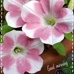癒しの空間/癒しの花/住まい/花好き/サフィニアもも色ハート/サフィニアアート/... 今日も素敵な一日になりますように(♥Ü♥…