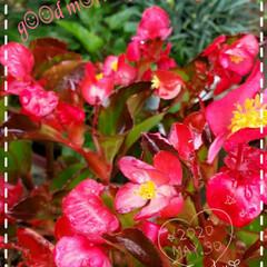 ガーデニング/お花大好き/元気の源/花のパワー/癒しの時間/癒しの空間/... 今日も素敵な一日になりますように(♥Ü♥…