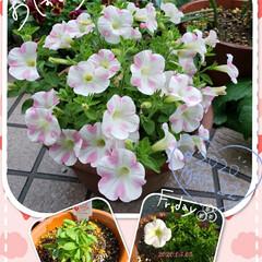 HappyLife/Happy/頑張ろう/元気の源/癒しの空間/我が家の庭の花/... 今日も素敵な一日になりますように(♥Ü♥…