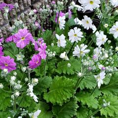 小人/ガーデニング/花のある暮らし/ガーデン雑貨/ガーデニング雑貨/LIMIAガーデニング部/... プランターに種から植えていた マラコイデ…(4枚目)