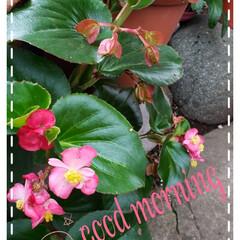 ガーデニング/お花大好き/こぼれ種/ベゴニア/庭の花たち/我が家の庭の花/... 今日も素敵な一日になりますように(♥Ü♥…