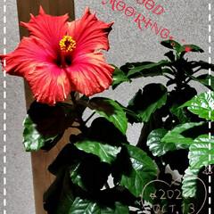 癒しの空間/お花好き/リミアのある暮らし/ハイビスカス/我が家の花たち/ガーデニング/... 今日も素敵な一日になりますように(♥Ü♥…