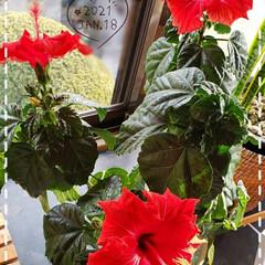 続々開花/鉢植え/元気パワー/元気の源/元気に咲く花/ガーデニング/... 今日も素敵な一日になりますように(♥Ü♥…