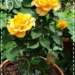 リミアのある暮らし/リミアな暮らし/ガーデニング/ビタミンカラー/花のパワー/癒しの空間/... 今日も素敵な一日になりますように(♥Ü♥…