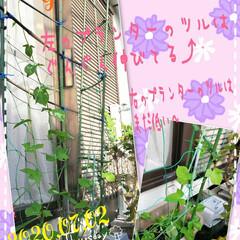 ガーデニング/お花大好き/元気の源/癒しの空間/癒しの場所/グリーンカーテン/... 今日も素敵な一日になりますように(♥Ü♥…