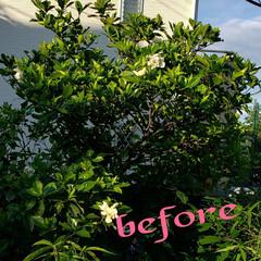 剪定した木/花好き/ガーデニング/また元気に成長してね/バッサリ/くちなしの木/... 今日も素敵な一日になりますように(♥Ü♥…