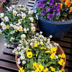 元気の源/鉢植え/庭の花たち/癒しの場所/癒しの空間/お花大好き/... 今日は 雨;(´•௰•`)☂  雨風強く…(2枚目)