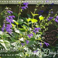 サルビア/癒しの空間/癒しの場所/花好き/庭の花たち/我が家の庭の花/... 今日も素敵な一日になりますように(♥Ü♥…