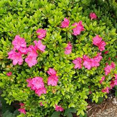地植え/庭の花/お花大好き/ツツジ/我が家の庭の花/花のある生活/... あちこちの 桜は 散り始めてきちゃってる…(1枚目)