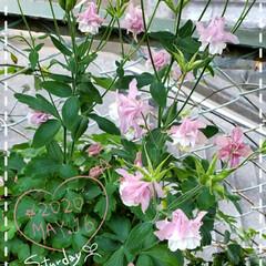ガーデニング/お花大好き/ガーデニング好き/癒しの空間/花のパワー/花のある暮らし/... 今日も素敵な一日になりますように(♥Ü♥…