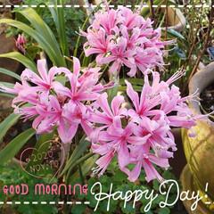 花好き/ガーデニング/ボウデニー/鉢植え/庭の花たち/我が家の庭/... 今日も素敵な一日になりますように(♥Ü♥…