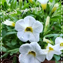 元気の源/鉢植え/庭の花たち/我が家の庭の花/ホワイト/サンバ/... 今日も素敵な一日になりますように(♥Ü♥…