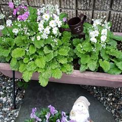 小人/ガーデニング/花のある暮らし/ガーデン雑貨/ガーデニング雑貨/LIMIAガーデニング部/... プランターに種から植えていた マラコイデ…(1枚目)