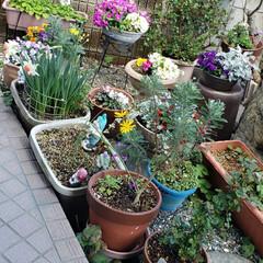 鉢合わせ/元気の源/癒しの空間/癒しの場所/我が家の庭の花/お花大好き/... 今日は 快晴🌞😊🌞  避難させていたお花…(1枚目)
