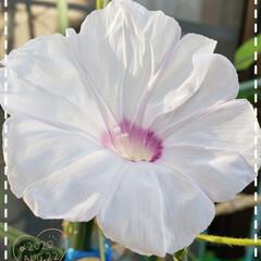 夏の花/朝顔/プランター/癒しの場所/癒しの空間/花好き/... 今日も素敵な一日になりますように(♥Ü♥…