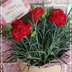 感謝の気持ち/いつもありがとう/カーネーション鉢植え/母の日プレゼント/母の日カーネーション/花のある暮らし/... 今日も素敵な一日になりますように(♥Ü♥…