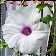 朝顔/夏の花/花大好き/元気の源/ガーデニング/庭の花たち/... 今日も素敵な一日になりますように(♥Ü♥…