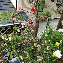 ボケの花/花のパワー/心の癒し/お花大好き/花のある暮らし/わが家の庭の花/... 今日は ☀て過ごしやすかった(*ˊૢᵕˋ…